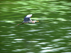 Heron_at_LaDue_Reservoir