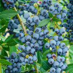 Ohio Real Title Vibrant Places Series Hike: Blueberry Picking